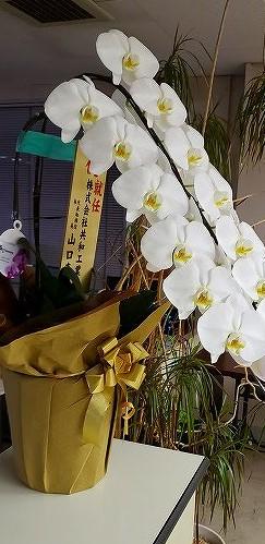 胡蝶蘭-3.jpg